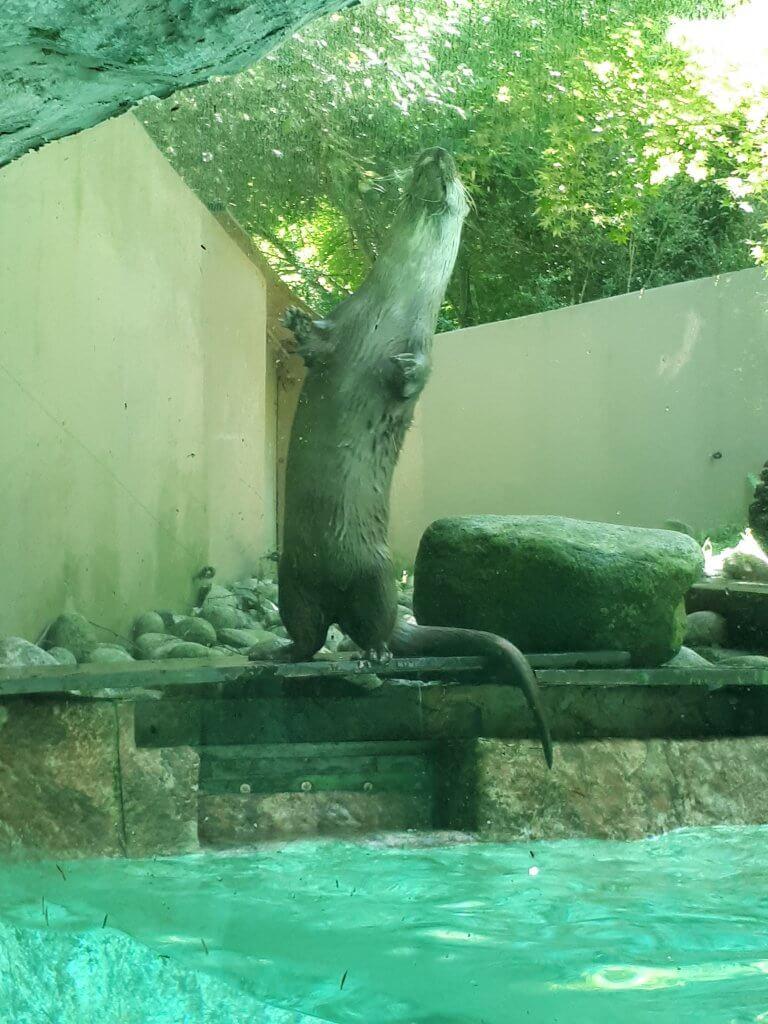 Loutre du parc animalier d'Argelès Gazost