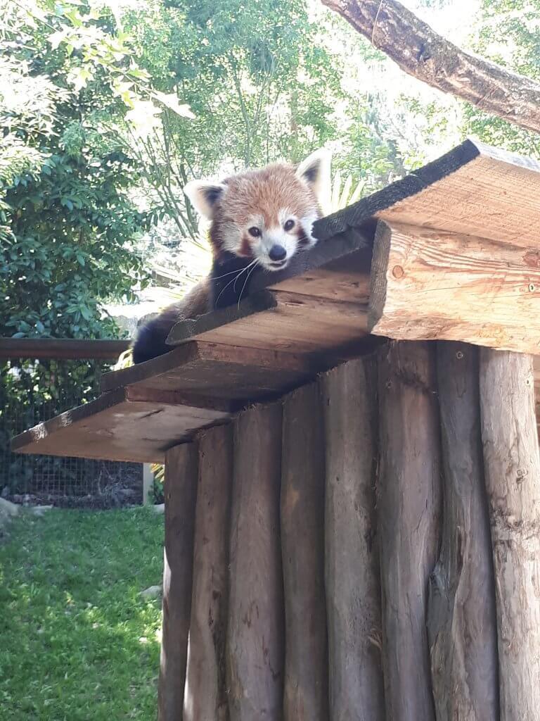 Panda roux du parc animalier d'Argelès Gazost