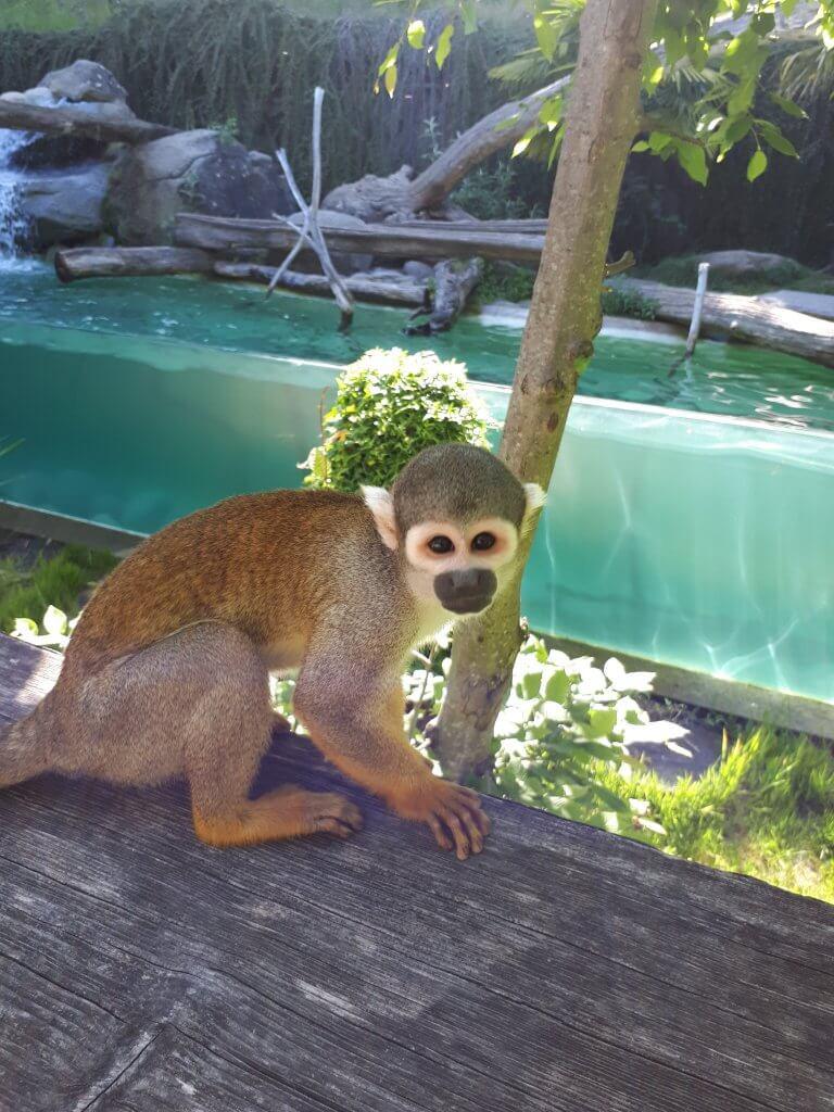 Petit singe du parc animalier d'Argelès Gazost