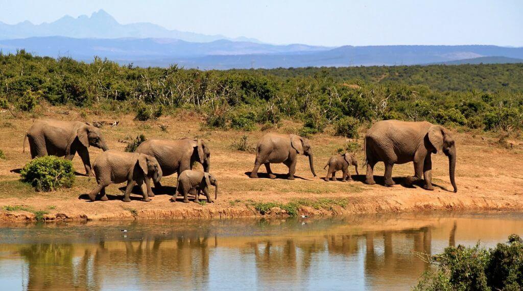 Troupeau d'éléphants proche d'un point d'eau dans le parc Kruger.