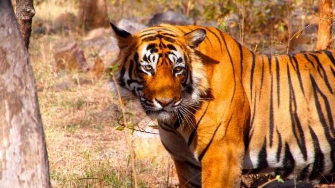sites de rencontres de tigres meilleur endroit pour les rencontres à Bangalore